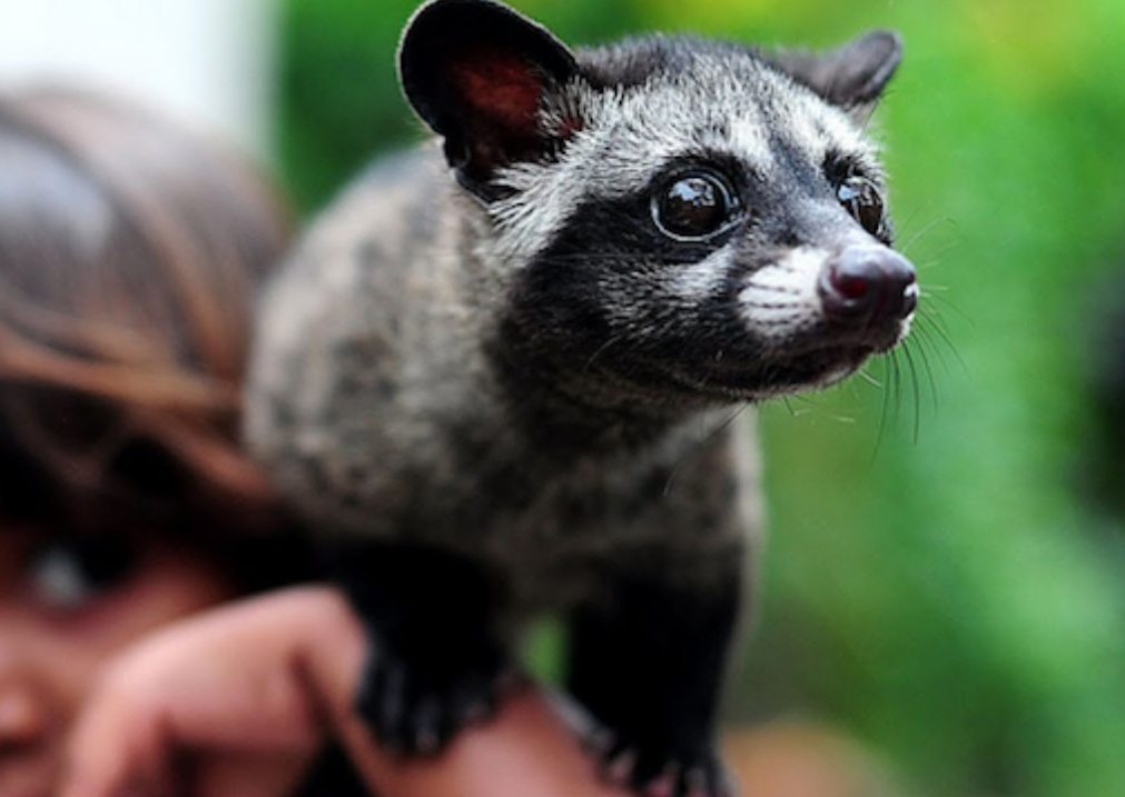 Asian-Palm-Civet-4